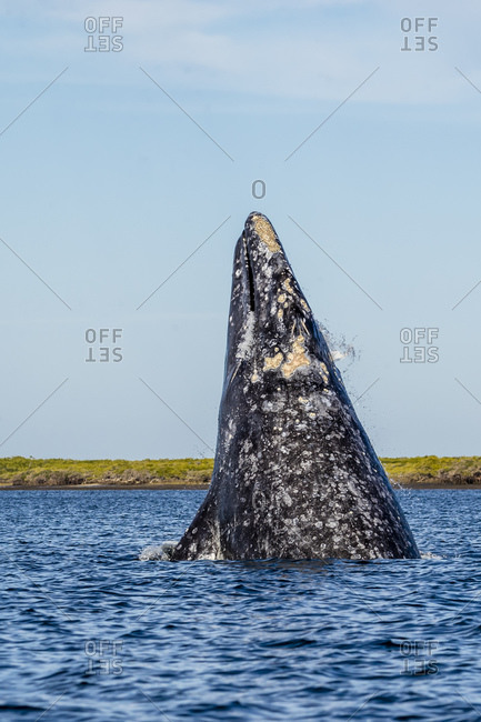 Adult California gray whale (Eschrichtius robustus), breaching in San Ignacio Lagoon, Baja California Sur, Mexico, North America
