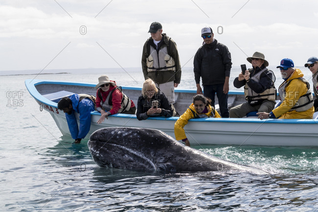 March 16, 2018: Whale watchers with California gray whale (Eschrichtius robustus), San Ignacio Lagoon, Baja California Sur, Mexico, North America