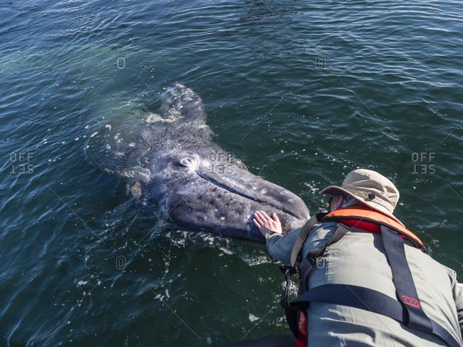 Whale watcher with California gray whale (Eschrichtius robustus), San Ignacio Lagoon, Baja California Sur, Mexico, North America