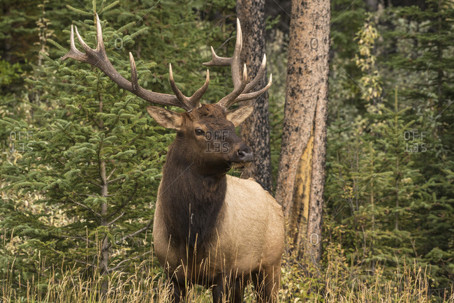 Bull Elk (Wapiti), Banff National Park, UNESCO World Heritage Site, Alberta, Canadian Rockies, Canada, North America