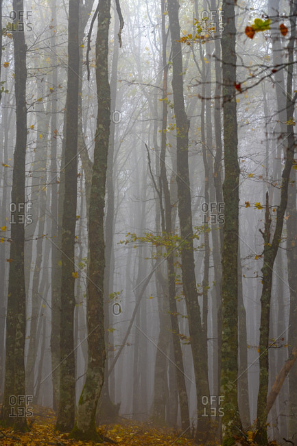 Forest in fog, Casentinesi Forests National Park, Apennines, Tuscany, Italy, Europe