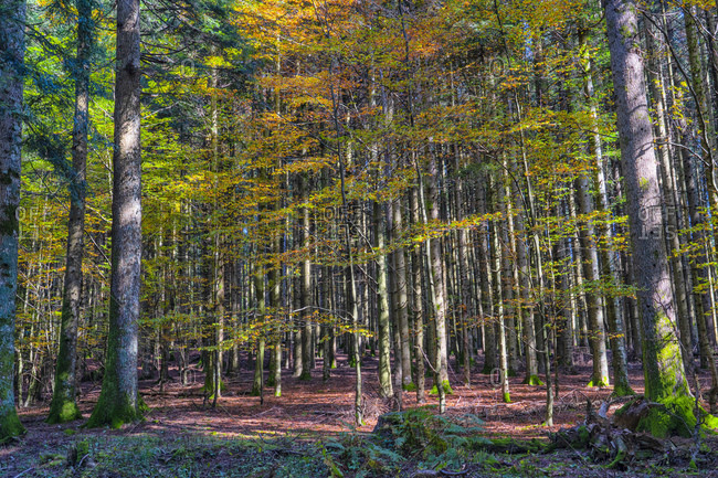 Forest in autumn, Casentinesi Forests National Park, Apennines, Tuscany, Italy, Europe