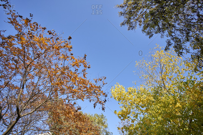 Low angle view of colorful fall foliage against a bright blue sky in the Seaside Garden public park in Varna, Bulgaria