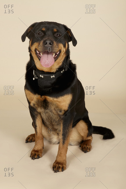 Studio portrait of Rottweiler dog looking at camera