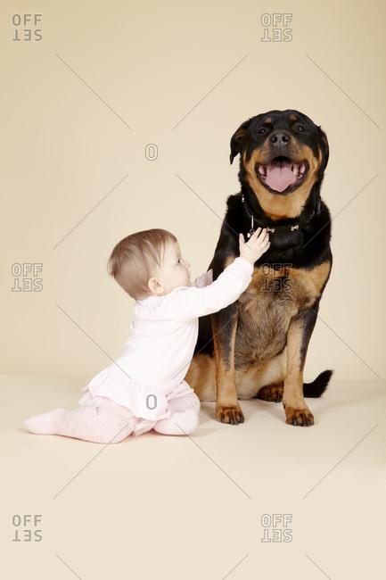 Studio portrait of baby girl touching collar of Rottweiler