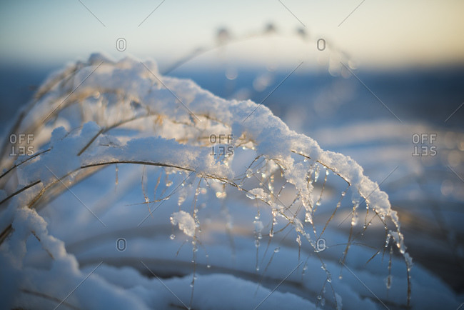 Snow covered plant in morning sun