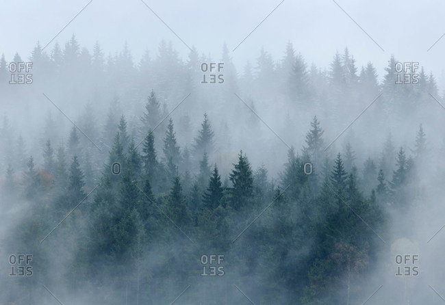 Pine forest in mist, Bystritsa village area, Carpathian Mountains, Ivano-Frankivsk region, Ukraine