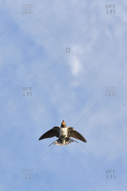 Swallow, barn swallow, hirundo rustica, in flight