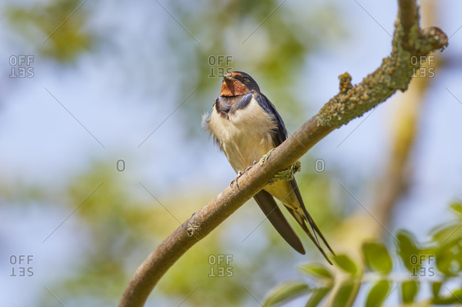 Swallow, barn swallow, hirundo rustica, sitting