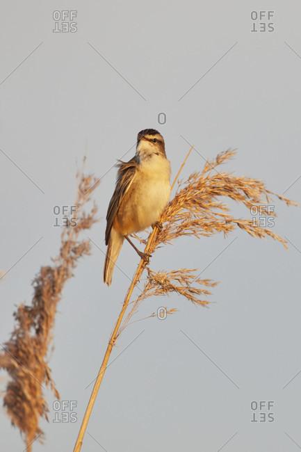 Reed warbler, acrocephalus schoenobaenus, home grown plants