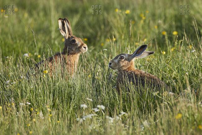 Hare, european hare, lepus europaeus