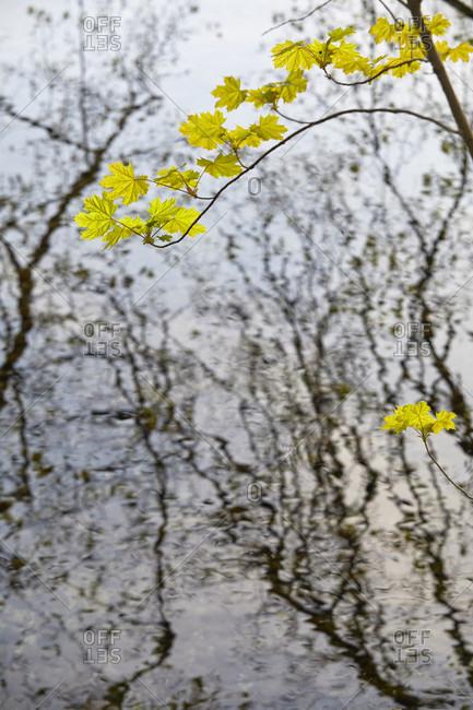 Maple leaves in fresh water