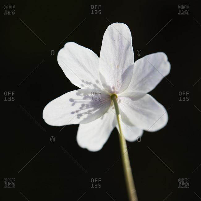 Wood anemone, anemone nemorosa, flowers