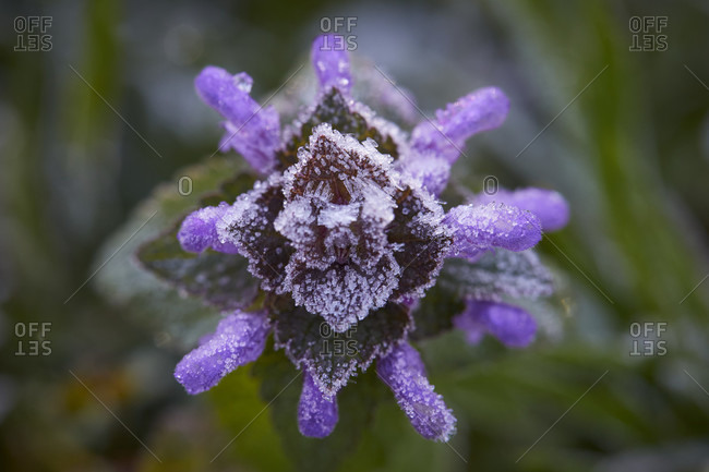 Dead nettle, lamium, hoarfrost, frost, bloom