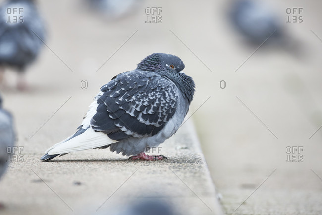City pigeon in the street alone
