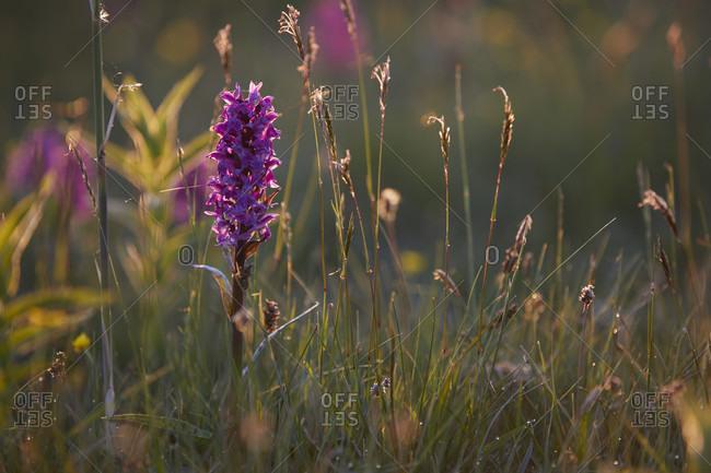 Broad-leaved orchid, dactylorhiza majalis, meadow