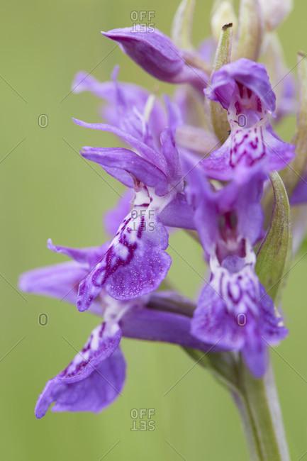 Broadleaf orchid, dactylorhiza majalis, flowers, details
