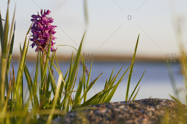 Broadleaf orchid, dactylorhiza majalis, whole plant