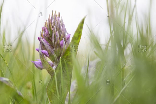 Broad-leaved orchid, dactylorhiza majalis, plant with buds, closed, young