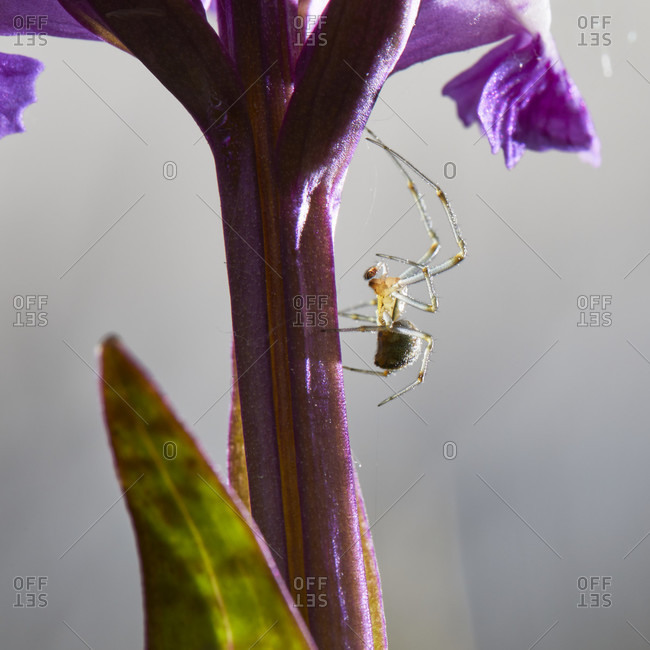 Brown ball spider, theridion imprint, broadleaf orchid, dactylorhiza majalis