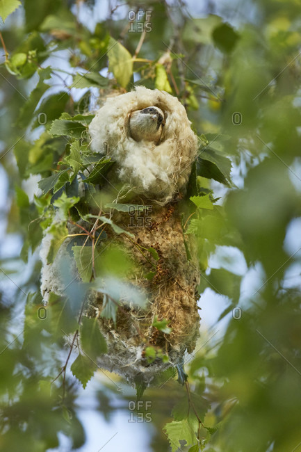 Tufted tit, remizpendulinus, at the nest