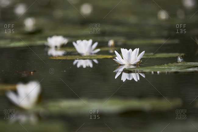 White water lily, nymphaea alba, flowers