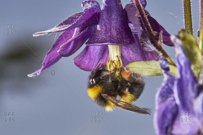 Bumblebee, garden bumblebee, bombus hortorum, columbine, blossom