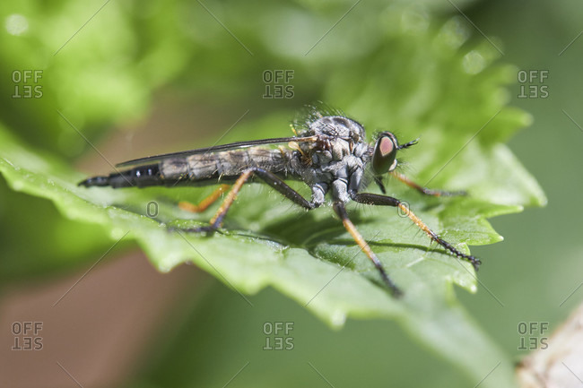 Predatory fly, common shrub thief, neoitamus cyanurus