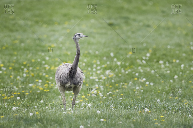 Nandu, rhea americana, northern germany