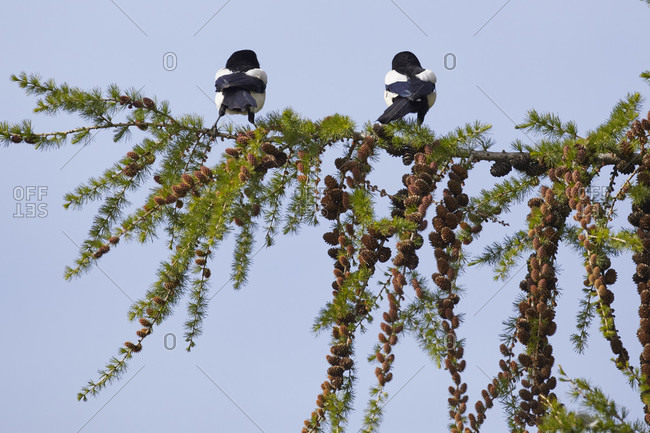 Magpie, pica pica, pair, flower