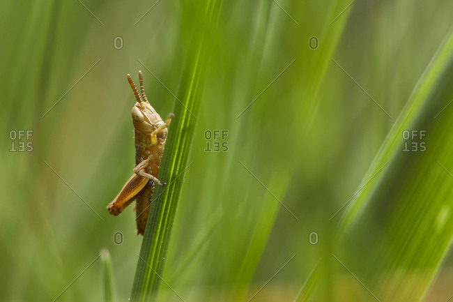 Grasshopper larva close up shot
