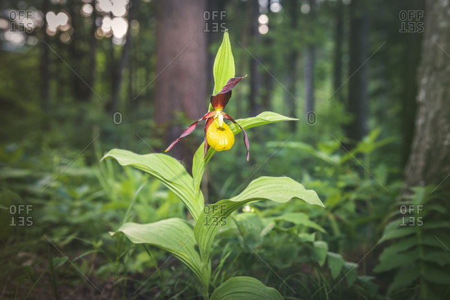Lady's slipper orchid, cypripedium calceolus in nature, dolomites, belluno, veneto, italy