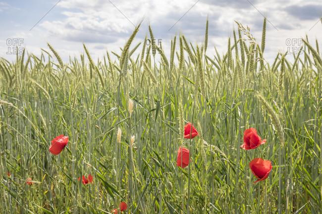 Poppies (papaver rhoeas) in a grain field near vendor, lower austria, austria