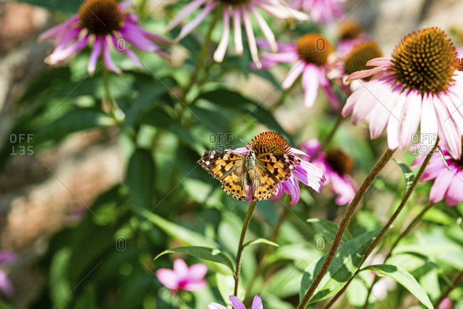 Painted lady on pink sun hat