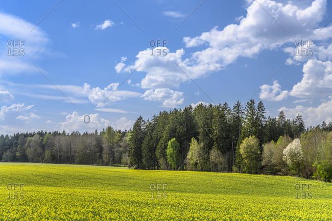 Germany, bavaria, upper bavaria, munich district, oberhaching, laufzorn district, grunwalder forst, rapsfeld