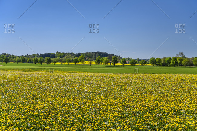 Germany, bavaria, upper bavaria, munich district, strablach-dingharting, kleindingharting district, lowenzahnwiese