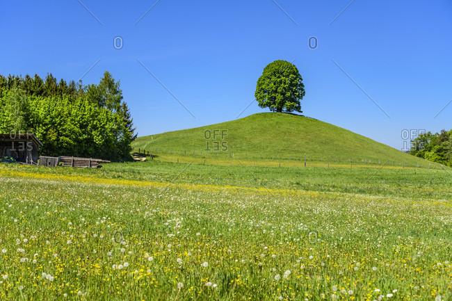 Germany, bavaria, upper bavaria, tiler land, eagling, spring landscape with linden tree