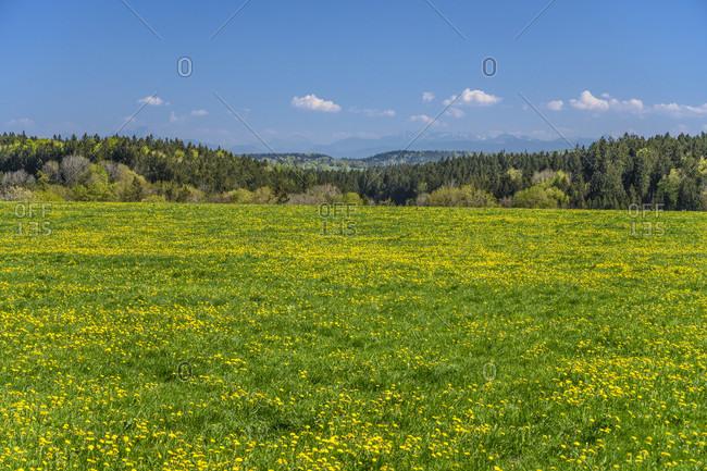Germany, bavaria, upper bavaria, tiler land, dietramszell, foggenbeuern district, dandelion meadow against alpine chain