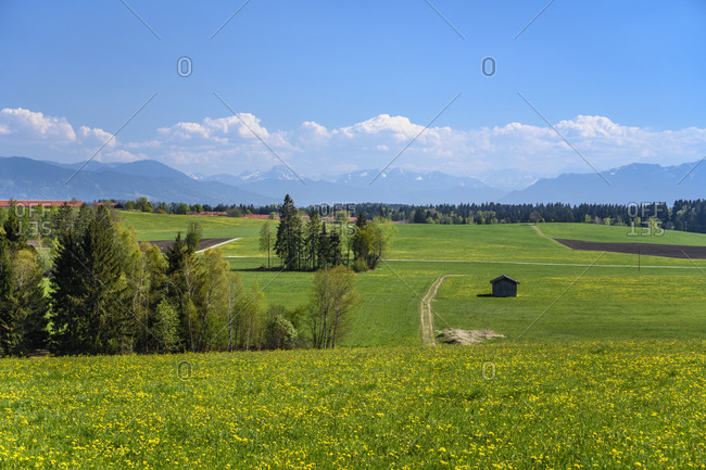 Germany, bavaria, upper bavaria, tiler land, dietramszell, humbach district, dandelion meadow against pre-alps