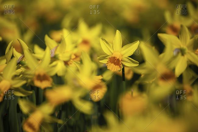 Daffodils (daffodils) close up detail shot
