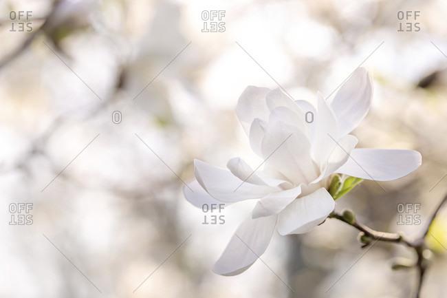 Magnolia flower, detail close-up shot