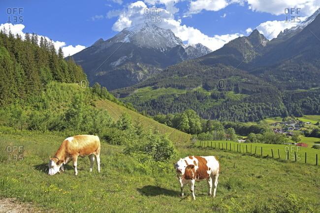 Mountain meadow with cows on the brine pipeline path against the watzmann (2713m), ramsau near berchtesgaden, berchtesgadener land, upper bavaria, bavaria, germany