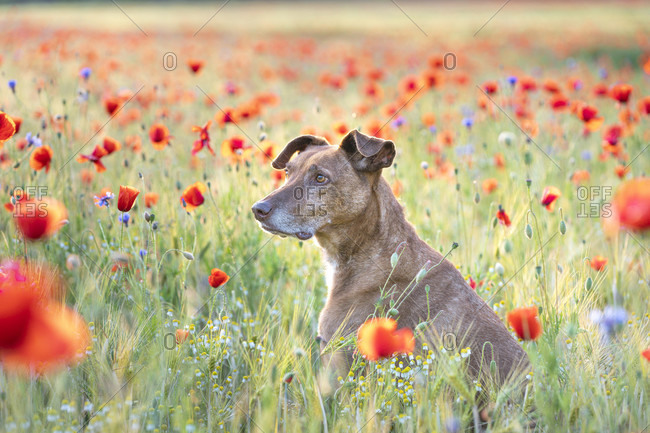 Dog in the poppy field