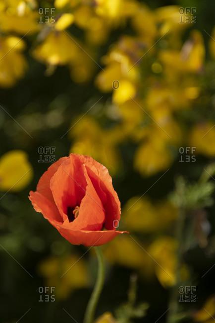 Red corn poppy blossoms in a gorse bush.