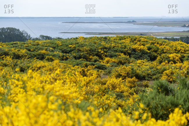 Every year there is an impressive natural spectacle on the island of hiddensee. half of the island is then bathed in a sunny yellow because the gorse is blooming.