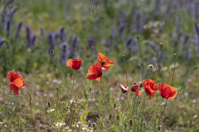 Corn poppy (papaver rhoeas), aromatic herbs