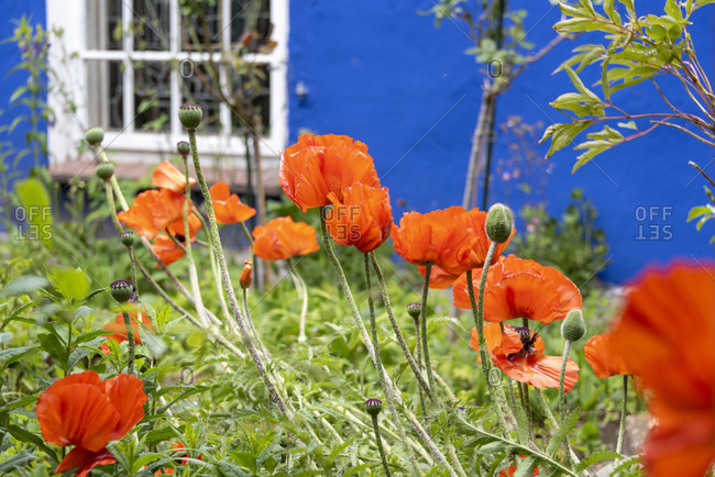 Poppy (papaver), aromatic herbs in the wild