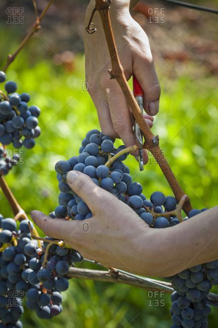 Grape harvest, hands, cut, grapes