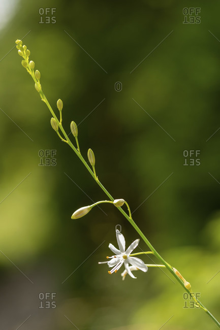 White funnel lily, also called white parade lily or alpine paradise lily