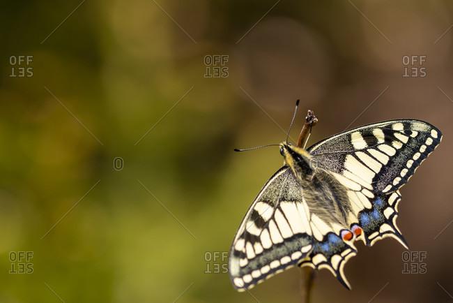 Swallowtail (papilio machaon) detailed shot